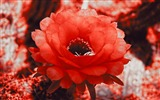 Title:red cactus blossom-Plants Photo Wallpaper Views:4216