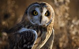 Title:bird owl predator-Photo hd Wallpaper Views:2762