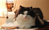 Title:cat lamp furry-Photo hd Wallpaper Views:3304