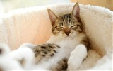 Title:cat lying spotted-Photo hd Wallpaper Views:3296