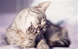 Title:cat washes paw striped-Photo hd Wallpaper Views:3537
