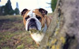 Title:dog tree look out-Photo hd Wallpaper Views:2606