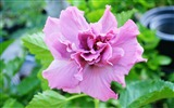 Title:hibiscus flowers-plants photo wallpapers Views:2314