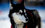 Title:husky dog puppy snout-Photo hd Wallpaper Views:3435