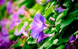 Title:morning glory-plants photo wallpaper Views:2393