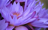 Title:purple lotus-plants images wallpapers Views:2472