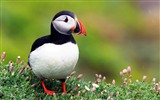 Title:Cute Elf puffin bird photography wallpaper Views:7032
