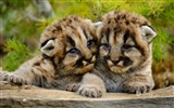 Title:Two cute leopard-Bing theme wallpaper Views:3038