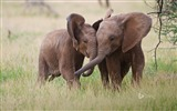 Title:Two elephants-Bing theme wallpaper Views:2514