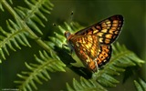 Title:butterfly-Animal Photo Wallpaper Views:2990