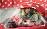 Title:cat fluffy shawl lying-Widescreen Wallpaper Views:2846