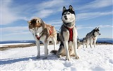 Title:husky dogs snow-Widescreen Wallpaper Views:3218