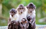 Title:macaque monkeys-Animal Photo Wallpaper Views:2787