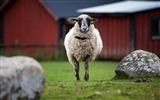 Title:one sheep-Animal Photo Wallpaper Views:3197