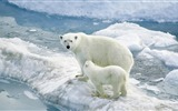 Title:polar bears ice-Widescreen Wallpaper Views:2134