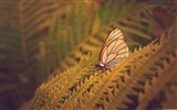 Title:Butterfly fern-Windows 8 Theme Wallpaper Views:2647