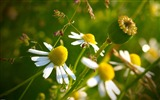 Title:Chamomile Flowers-Photography HD Wallpaper Views:3170