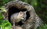 Title:Empty timber of gray fox-Windows 8 Theme Wallpaper Views:2219