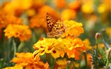 Title:Orange butterfly-Windows 8 Theme Wallpaper Views:2290