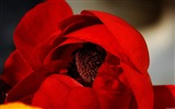 Title:Red poppies-Windows 8 Theme Wallpaper Views:2771
