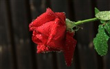 Title:red rose flower-Photography HD Wallpapers Views:2572