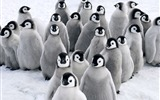 Title:Baby Penguins-Animal Photo Wallpaper Views:2683