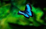 Title:Blue Butterfly Flying-Animal Photo Wallpaper Views:2033