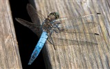 Title:Blue Dragonfly-Animal Photo Wallpaper Views:2327