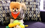 Title:Cute Boo The Dog-Animal Photo Wallpaper Views:2323