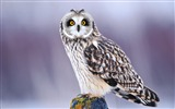 Title:Owl Bird-Animal photo wallpapers Views:2877