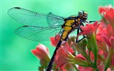 Title:Pink spend yellow dragonfly-Windows Theme Wallpaper Views:2415