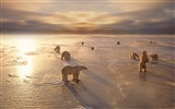 Title:Polar bears cold winter-Animal Photo Wallpaper Views:2180