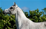 Title:arabian horse-Animal Photo Wallpaper Views:2093