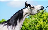 Title:arabian horse-Animal Photo Wallpapers Views:1900