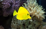 Title:fish yellow underwater-Animal photo wallpapers Views:2702
