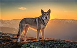 Title:wolf-Animal Photo Wallpaper Views:2281