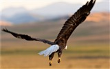 Title:Bald Eagle in Flight-photography HD wallpaper Views:3011