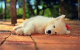 Title:Cute Samoyed Sleeping-photography HD wallpaper Views:3585
