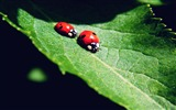 Title:Ladybugs On Green Leaf-photography HD wallpaper Views:2940