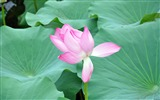 Title:Pink Blooming lotus-Windows Theme Wallpaper Views:2264