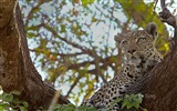 Title:Cheetah lying in a tree-Bing theme wallpaper Views:2952