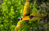 Title:Flying Parrot-Photo HD Wallpaper Views:2070