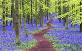 Title:Hertfordshire bluebells woods-Windows Theme Wallpaper Views:3250