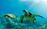 Title:Marine turtles-Windows Theme Wallpaper Views:2552