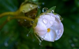 Title:macro drops flower-HD Widescreen Wallpapers Views:2001