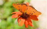 Title:Gulf fritillary butterfly-Windows 10 HD Wallpaper Views:3122