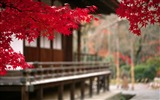 Title:Japanese Autumn Leaves-HD Desktop Wallpaper Views:2439