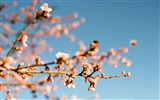 Title:almond blossoms-High quality wallpaper Views:2303