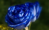 Title:Blue Rose-HD Photography wallpaper Views:2387