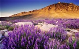 Title:Mountain Purple Flowers-HD Photography wallpaper Views:1991